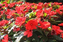 Partial Sun/Shade Alternatives for Impatiens