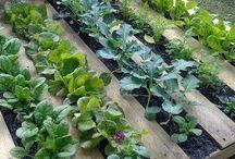 veggie plotting (and scheming)