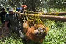 Confiscations / Our team work tirelessly to save orangutans from the illegal pet trade. Here is glimpse into the reality of what is happening.