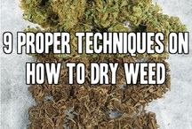 Cannabis Horticulture