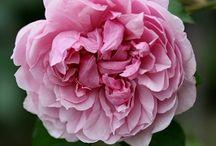 Roses / Flowers