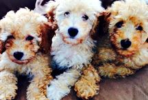 Hannah's Previous Litters - Australian Labradoodles / Check out puppies from Hannah's past litters of Miniature Australian Labradoodles.