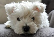 Westies! ℒℴvℯ ❀ / It's All About The Little White Dog~ ℒℴvℯ my beautiful,  sweet, sassy ... ,,,,,,   'Mistress Surreal Sassy Daisy Jane'! / by Darla Guerra