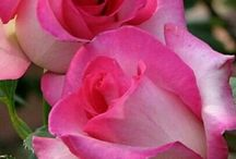 Flower_Pink&Red