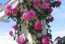Rosas trepadeira.