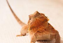 Lizards/ gecko's