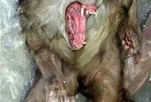 Dark Wolves and Werewolves