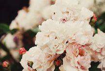 Roses / Roses, flowers