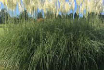 Ornamental Grasses / How to use ornamental grasses in your garden design. Inspirational images of ornamental grasses