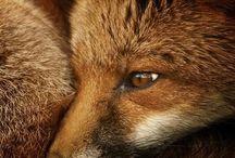 Animals: Foxy
