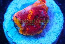 Cornbred Corals / Live coral for saltwater aquariums, aquaculture, and coral reefs.  Cornbred Corals are rare and unique, colorful live corals for reef hobbyist and coral collectors.