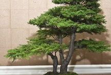 Bonsai Trees - how amazing..... / An old passion for miniature trees