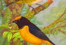 Pintura de Aves HAO / Aves en naturaleza