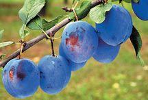 Ovoce - obrázky plodů a stromů