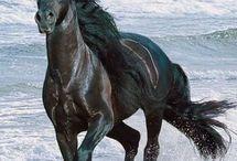 Fekete lovak mappa