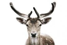 Reinsdyr!!  / Reindeer