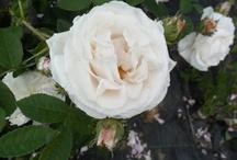 Rose - Roses