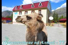 """Завтрак верблюда """"Кузи"""" на Алтае."""