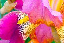 Flowers / IRIS