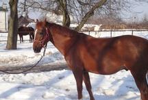 Konie na sprzedaż / Galeria koni sportowych na sprzedaż