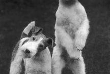 Asta dog Wire Hair Fox Terriers / Asta dogs!