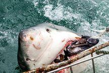 GREAT WHITE SHARK THREE