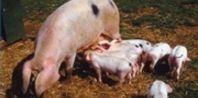 Pigs / by Dorinda Unterseher