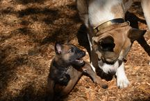 Military working dogs / They're pretty cute as puppies, but make no mistake; they're highly skilled and tough as adults.