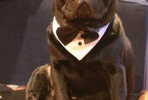 Tuxedo Pugs