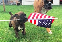 #PupBox4Merica competition / #PupBox4Merica 4th July competition.
