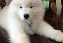 Samoyed <3 / My favourite breed of dog <3