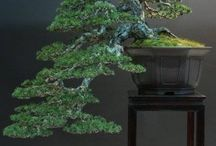 Bonsai tree ideas