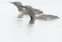 Photos - Birds - Waterfowl / Birds of the sea, lakes, ponds, marshes, and streams