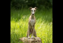 """Hounds / """"Elegance is the only beauty that never fades""""  My passion for photography was rekindled by a greyhound just over a decade ago, starting me down a path to professional dog photography. I love working with all kinds of dogs, but this is """"my breed"""" now, and always will be."""