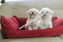 Maltese Terrier  / Maltese Terrier