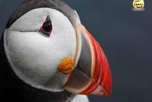 deniz papagani