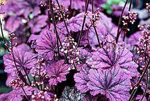 lilás színü virágok