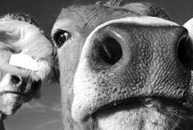 Koeien.....