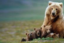 Bears / I love Bears