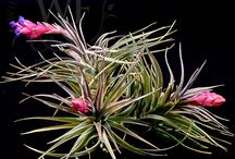 Airplants / Airplants that we sell in our store and on our website!