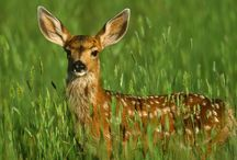 Deer <3 / becasue i love them / by Miranda Grim