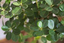 Фикусы/ Ficus