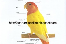Agapornis  / Basic and advance agapornis breeding. A technical summary of raising and breeding African Love Birds (ALBS)