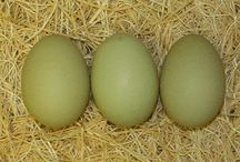 Chickens- Blue & Green Eggs