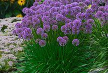 trsovité kvety