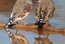 Birds (mainly Zebra Finches)