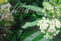 Allspice / by Herb Society of America