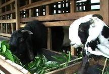 food etawa goat