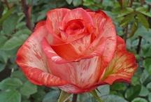 roses i like