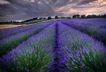 Lavender, Purple, Plum!